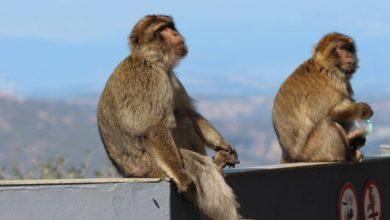 Photo of Monos que huyeron con muestras de covid-19 tras atacar a laborario, representan un peligro para la humanidad