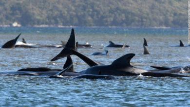 Photo of Mueren unas 380 de las ballenas varadas en sur de Australia