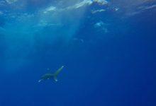 Photo of Los ataques de tiburón a personas alcanzaron cifras récord en Australia: 7 víctimas en los últimos días